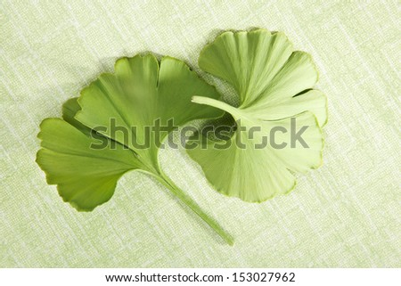Ginkgo biloba. Fresh green ginkgo leaves isolated on green background, top vies. Healthy natural alternative medicine. - stock photo