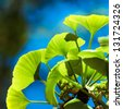 Ginkgo biloba green leaves on a tree. Ginko leafs is the symbol of Japanese tea ceremony. Ginkgo is used to improve memory in alternative medicine. - stock photo