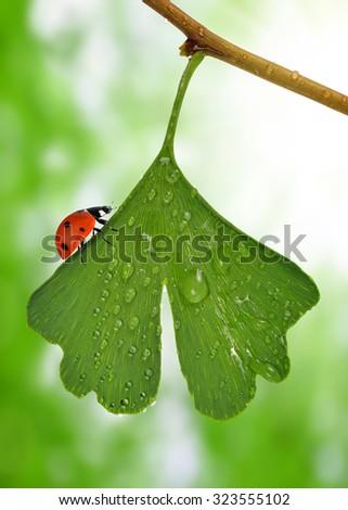 ginkgo biloba leaf with dew drops and ladybug - stock photo