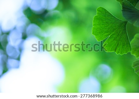 Ginkgo biloba leafs background - stock photo