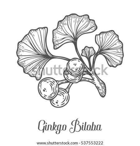 Ginkgo Biloba Plant Leaf Branch Berry Hand Drawn Engraved Sketch Etch Illustration