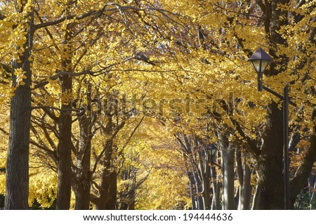 Ginkgo roadside trees colored yellow
