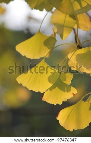 Ginkgo tree in Autumn - stock photo