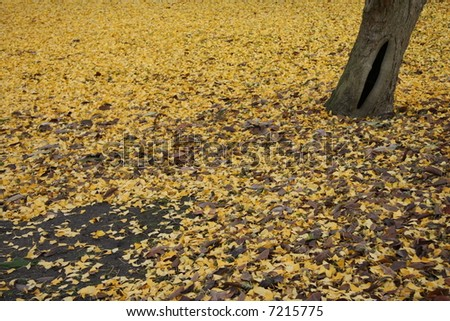 ginko leaves - stock photo
