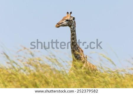 Girafe in Pilanesberg state park, South Africa - stock photo
