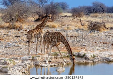 Giraffa camelopardalis drinking from waterhole in Etosha national Park, Ombika, Kunene, Namibia - stock photo