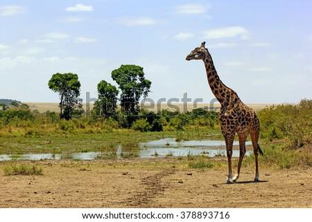 Giraffa camelopardalis tippelskirchi - Masai giraffe in Masai Mara National Park, Kenya. - stock photo