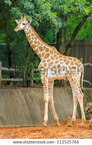 Giraffe Africa long neck native. - stock photo