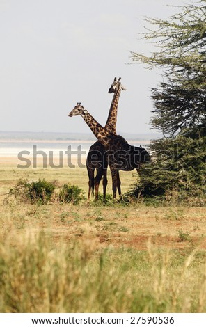 Giraffe - African mammal, the tallest of all land-living animal species, and the largest ruminant.