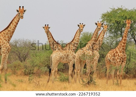 Giraffe - African Wildlife Background from Africa - Posture of Symmetry, Camouflage and Unique Beings