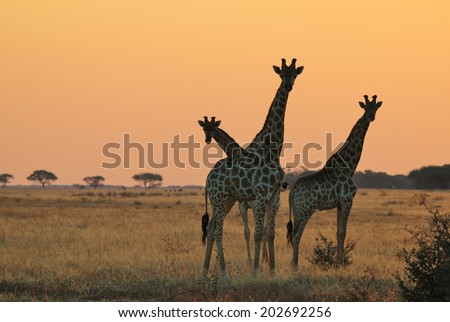 Giraffe - African Wildlife Background - Silhouette and Sunset Gold from Magnificent Nature - stock photo