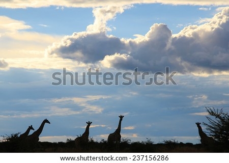 Giraffe - African Wildlife Background - Silhouette of Freedom and Harmony of Peace - stock photo