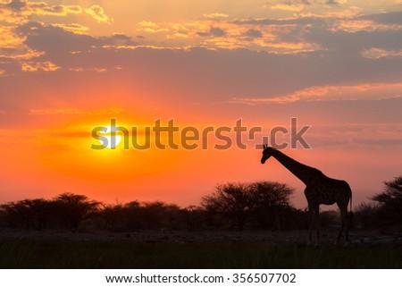 Giraffe against the sunset - stock photo