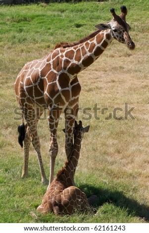 giraffe and young calf - stock photo