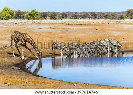 Giraffe and zebras drinking at Chudop waterhole in Etosha national park, Namibia/ - stock photo