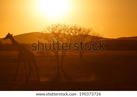 Giraffe at Etosha National Park in Nambia, Africa - stock photo