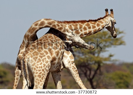 Giraffe battle showing the surprising flexibility of the neck