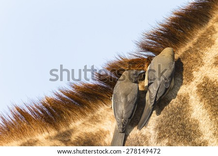 Giraffe Birds Wildlife Giraffe Birds Wildlife Giraffe wildlife animal closeup with red-billed ox-pecker birds cleaners on neck head detail portrait - stock photo
