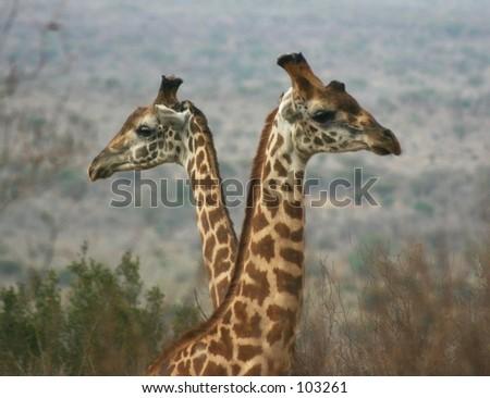 Giraffe boys 1.04 - stock photo