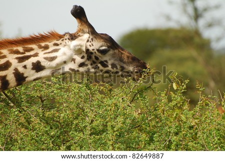 Giraffe Browsing - stock photo