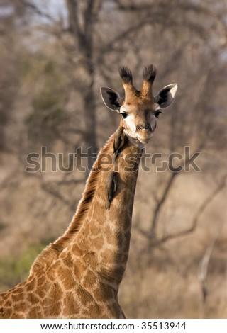 Giraffe calf in Kruger National Park South Africa - stock photo