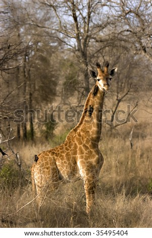 Giraffe calf with oxpeckers on neck in Kruger National Park South Africa - stock photo