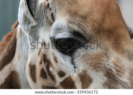 giraffe close up - stock photo