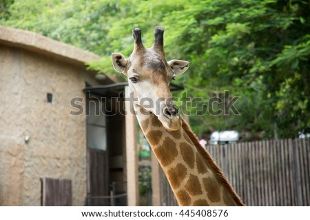 Giraffe closeup face in natural habitat