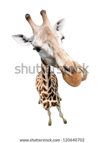 Giraffe closeup portrait isolated on white. Top view wide lens shot. - stock photo