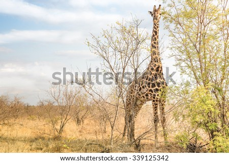 Giraffe comouflaging behind trees at safari park -  Free wildlfie animals in real nature game reserve in South Africa - Warm afternoon color tones - stock photo