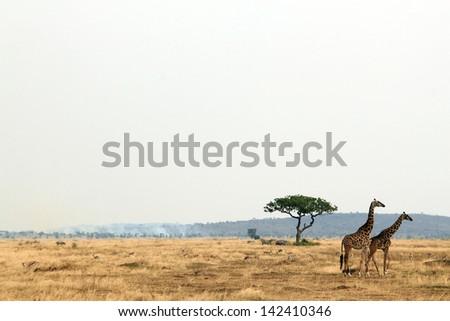 Giraffe Couple (Giraffa Tippelskirchi) on Savannah, Serengeti, Tanzania - stock photo