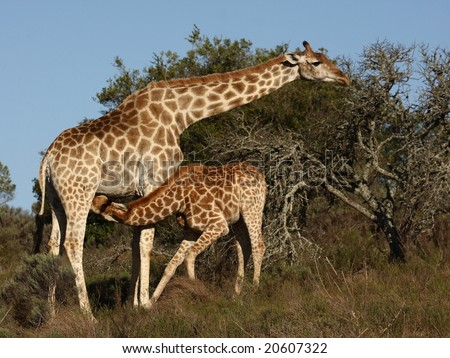 Giraffe cow standing while the calf drinks. - stock photo