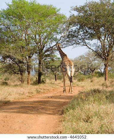 Giraffe crossing road - stock photo