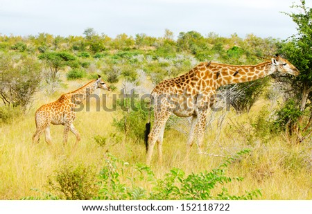 Giraffe Doe and Calf, Kruger National Park, South Africa - stock photo