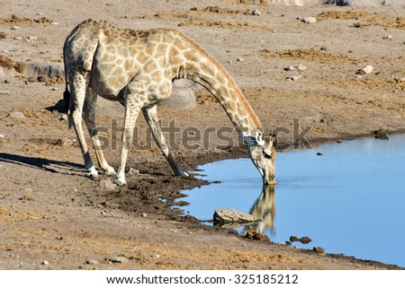 Giraffe drinking along a waterhole in the wild in Etosha National Park, Namibia, Africa. - stock photo