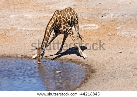 giraffe drinking water from a water hole - stock photo