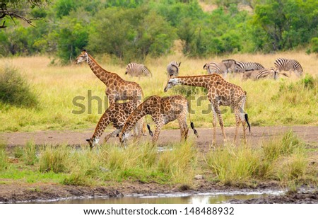 Giraffe Drinking Water - Kruger National Park - stock photo