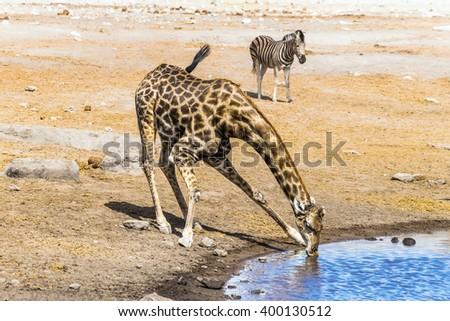 Giraffe drinks at waterhole in Etosha national park,Namibia. - stock photo