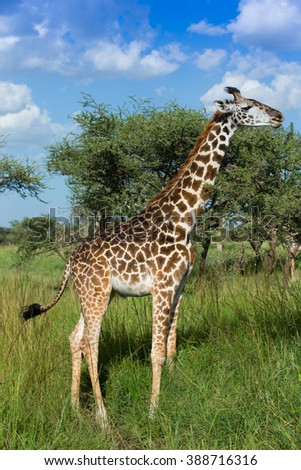 Giraffe eating acacia leafs with blue sky background