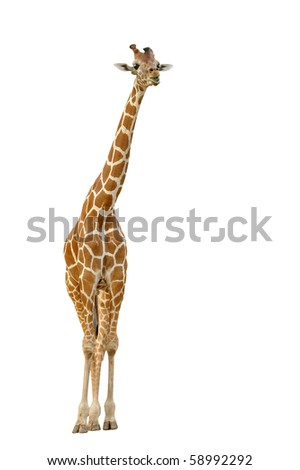 giraffe eating leaf - stock photo