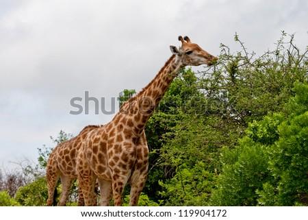 Giraffe eating leaves from tree top at Hluhluwe-iMfolozi Game Reserve, KwaZulu Natal South Africa - stock photo