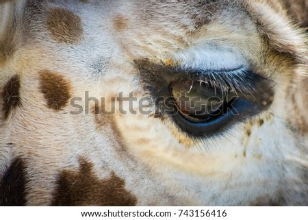 Giraffe Eye, Close up
