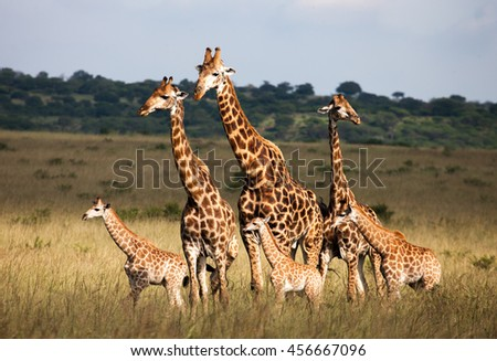 Giraffe Family - stock photo