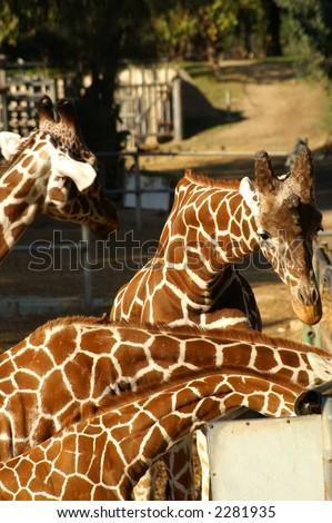 giraffe family in a safari , eating - stock photo