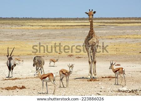 Giraffe, Gemsbok Oryx, Zebra & Springbok in Etosha National Park - stock photo