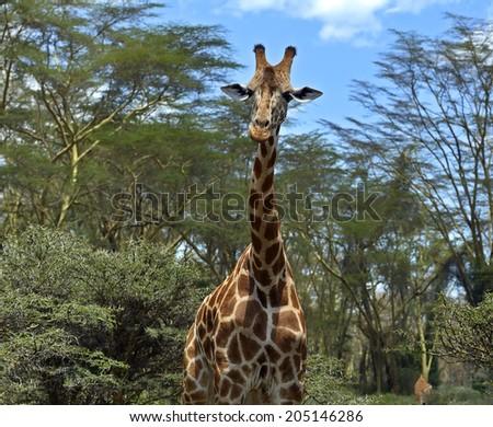 Giraffe (Giraffa camelopardalis) in Kruger National Park - stock photo