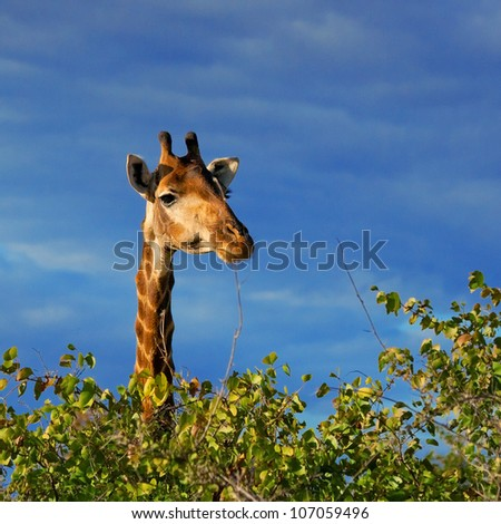 Giraffe (Giraffa camelopardalis) in Kruger National Park, South Africa - stock photo