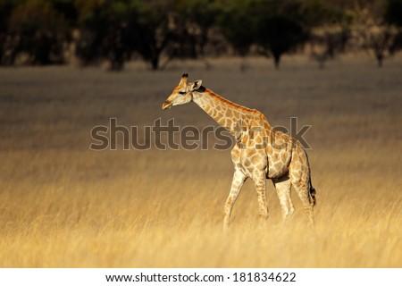 Giraffe (Giraffa camelopardalis) in open grassland, South Africa  - stock photo