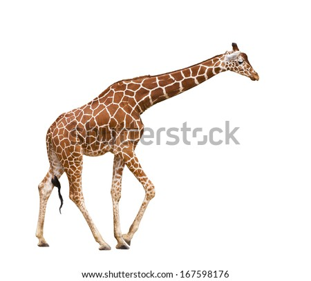 Giraffe (Giraffa camelopardalis), isolated on white background