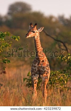 giraffe, giraffa camelopardalis, Kruger national park, South Africa - stock photo